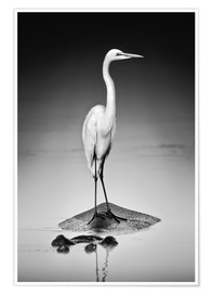 Plakat Great white Egret perched on Hippo