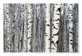 Plakat  Birch forest in winter