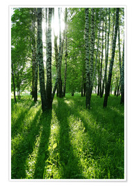 Plakat birch trees with long shadows