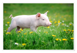 Plakat  Piglet on a Spring Meadow