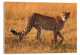Obraz na drewnie  Cheetah looking for its prey