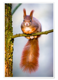 Plakat Squirrel on small branch