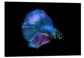 Obraz na aluminium  Blue Betta