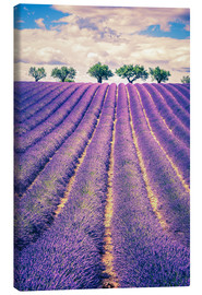 Obraz na płótnie  Lavender field with trees in Provence, France