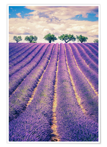 Plakat Lavender field with trees in Provence, France