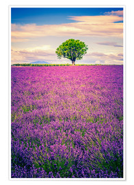Plakat Lavender field with tree in Provence, France
