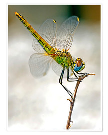 Plakat dragon-fly