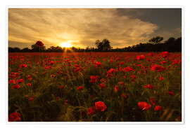 Plakat Poppy field in sunset