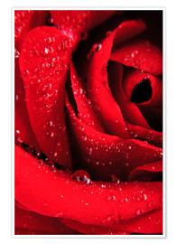 Plakat  Red rose with water drops
