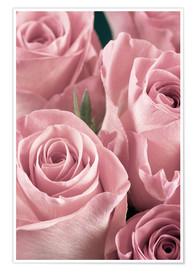 Plakat  Bunch of pale pink roses