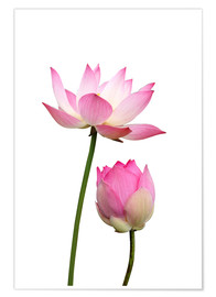 Plakat Lotus flowers