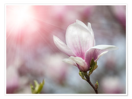 Plakat  Magnolia flower in sunlight