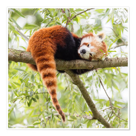 Plakat  Red panda resting in a tree