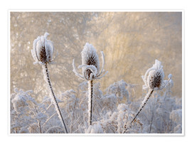Plakat Hoar frost on a teasel in wintertime