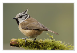 Plakat Crested Tit in Moos