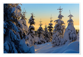 Plakat Snow-covered spruce trees at sunrise on Wurmberg in the Harz