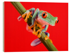 Obraz na drewnie  Tree frog on red