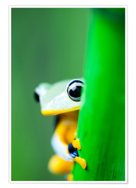 Plakat  yellow tree frog
