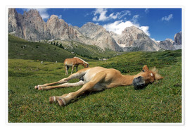 Plakat Peacefully sleeping Haflinger foal on a mountain meadow