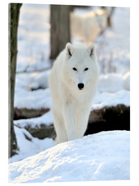 Obraz na szkle akrylowym  Beautiful white wolf in the winter
