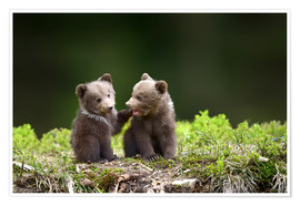 Plakat  Two young brown bears