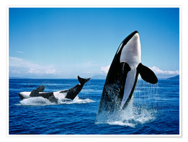Plakat Performance of the killer whales