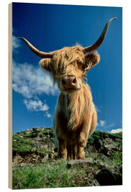 Obraz na drewnie  Scottish highland cattle - Duncan Usher