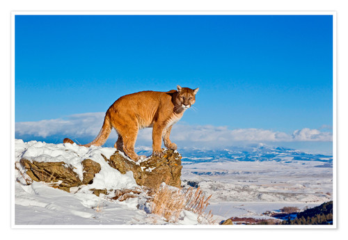 Plakat Puma standing on rock in snow, Rocky Mountains