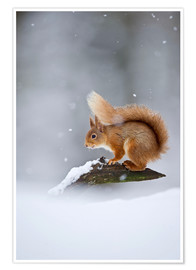 Plakat Eurasian Red Squirrel standing on branch in snow