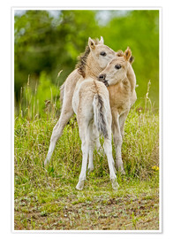 Plakat Konik, wild horse, two foals playing