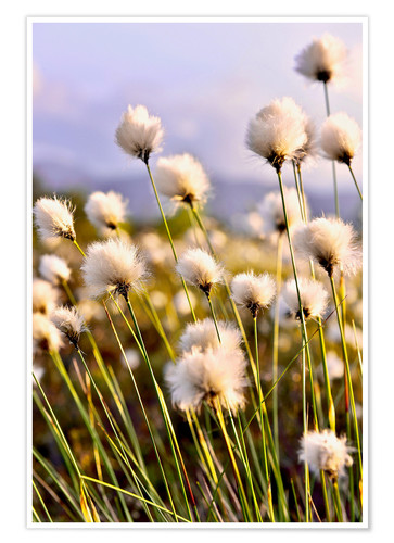 Plakat Flowering Tussock Cottongrass