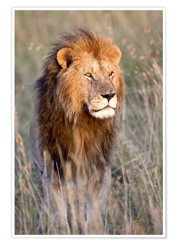 Plakat Maasai lion in the prairie