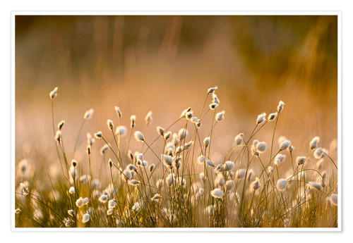 Plakat Common Cotton-grass backlit at dawn