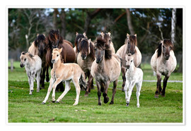 Plakat Dülmen pony herd with foals