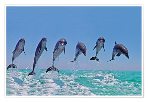 Plakat 6 dolphins jump out of the water