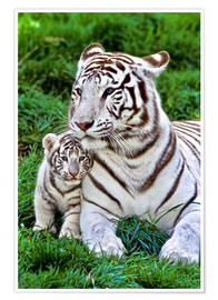 Plakat White tiger mother with child