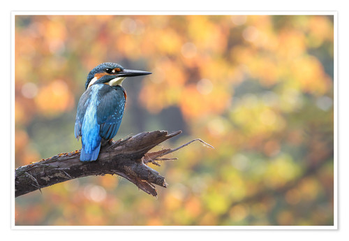 Plakat kingfisher