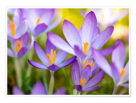 Plakat crocuses