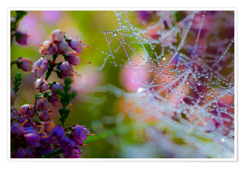 Plakat Morning dew on Erica and spider web