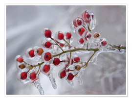 Plakat  Rosehip covered with ice