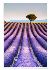 Plakat Tree in a lavender field, Provence
