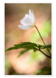 Plakat Wood anemone - blooming with soft background