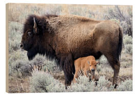 Obraz na drewnie  Bison cow with calf
