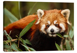 Obraz na płótnie  Red panda in Wolong - Jim Zuckerman