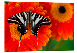 Obraz na szkle akrylowym  Knight butterfly on gerbera - Darrell Gulin