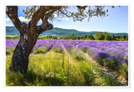 Plakat View of the lavender field