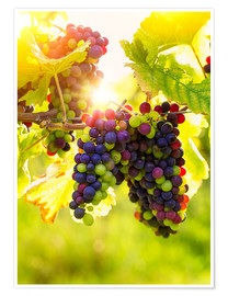 Plakat Bunch of black grapes on the vine